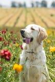 在领域的金毛猎犬 库存照片
