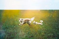 在领域的金毛猎犬 免版税图库摄影