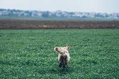 在领域的金毛猎犬 图库摄影