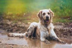 在领域的金毛猎犬 库存图片