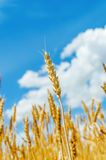 在领域的金黄在蓝天的庄稼和云彩 库存图片