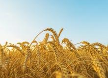 在领域的金黄庄稼和在日落的蓝天 库存照片