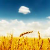 在领域的金黄庄稼在与云彩的深蓝天下 库存图片