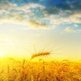 在领域的金黄收获在与云彩的日落下 库存图片