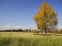 在领域的金黄桦树 免版税库存照片