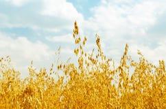 在领域的金黄燕麦 图库摄影