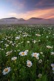在领域的雏菊在山附近 图库摄影