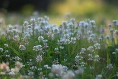 在领域的风景狂放的白花 图库摄影