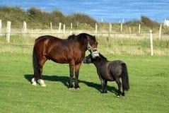 在领域的马和舍特兰群岛小马 免版税图库摄影