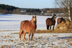 在领域的马在冬天 库存图片