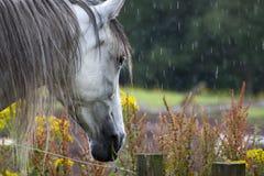 在领域的马在苏格兰 免版税库存图片