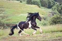 在领域的马gallopin 免版税库存图片
