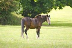 在领域的马swishing它的尾巴 免版税库存照片
