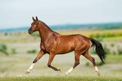 在领域的驯马马 免版税库存图片
