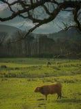 在领域的高地母牛 免版税库存图片