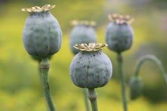 在领域的鸦片罂粟在夏天 免版税库存照片