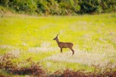 在领域的鹿 免版税库存图片
