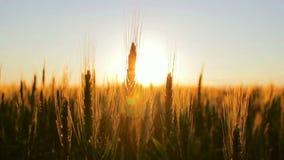 在领域的麦子在日落 股票录像