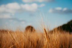 在领域的麦子耳朵和与白色云彩和树的蓝天在背景中 免版税库存图片