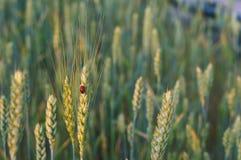 在领域的麦子耳朵,麦子耳朵在阳光下 图库摄影