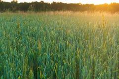 在领域的麦子耳朵,麦子耳朵在阳光下 库存图片