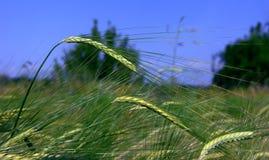 在领域的麦子耳朵 图库摄影