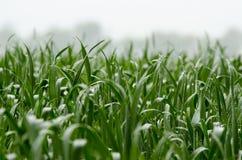 在领域的麦芽 库存照片