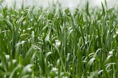 在领域的麦芽 免版税库存图片
