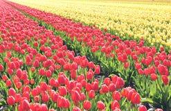 在领域的黄色和红色郁金香 这些花在荷兰被射击了荷兰 图库摄影
