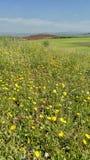 在领域的黄色花 库存图片