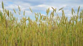 在领域的黄色麦子,片段 股票视频