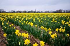 在领域的黄色黄水仙 免版税库存图片