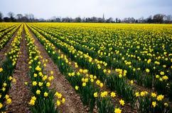 在领域的黄色黄水仙 免版税图库摄影