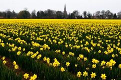 在领域的黄色黄水仙 库存照片