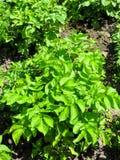 在领域的年轻土豆植物 免版税库存图片