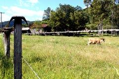 在领域的黄牛 免版税库存照片
