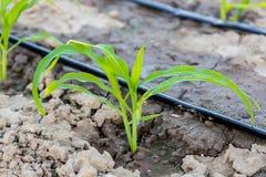 在领域的年轻玉米与水滴灌溉 库存图片