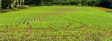 在领域的年轻玉米连续 图库摄影