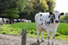 在领域的黑白母牛 免版税库存图片
