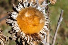 在领域的死的向日葵 免版税图库摄影