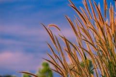 在领域的稻科植物类草 免版税库存照片
