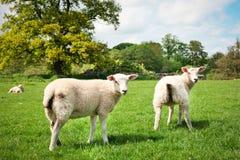 在领域的绵羊 免版税图库摄影