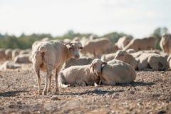 在领域的绵羊 图库摄影