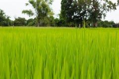 在领域的绿色叶子米 免版税库存图片