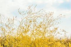 在领域的黄色秋天草,特写镜头 图库摄影