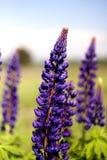在领域的紫色羽扇豆 免版税图库摄影