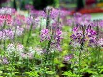 在领域的紫色花 免版税库存图片
