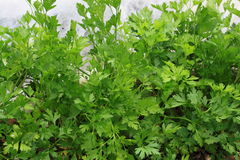 在领域的绿色芹菜 免版税库存图片