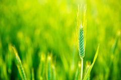 在领域的绿色麦子在日落 免版税库存照片