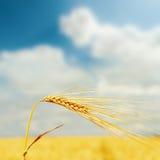 在领域的黄色麦子耳朵和与云彩的蓝天在它 免版税库存图片